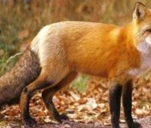 Ξεκίνησαν οι διαδικασίες για την αντιμετώπιση της λύσσας
