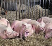 Παγκόσμιο viral το κυνήγι του ρεπόρτερ  από «ερωτευμένο» γουρούνι