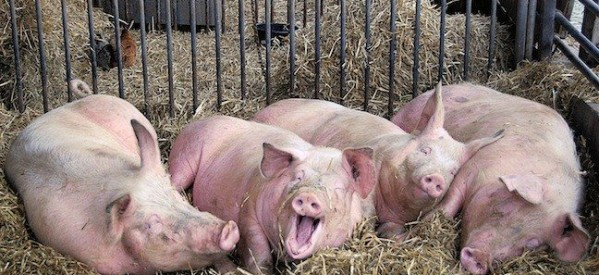 Χριστούγεννα έρχονται, γουρούνια έκλεψαν…