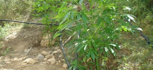 Κι άλλες συλλήψεις για καλλιέργεια χασίς