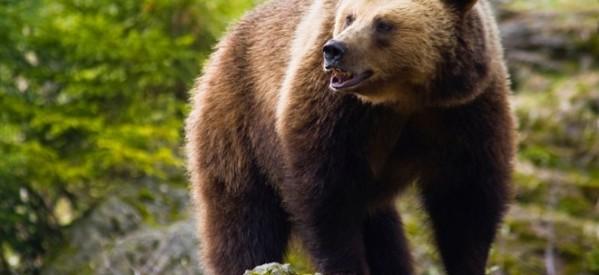 Νεκρή αρκούδα στη Μύκανη