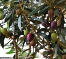 Από σήμερα «Γιορτή ελιάς» στον Δήμο Τεμπών