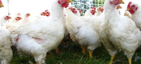 Εκλεψαν ΚΑΙ κοτόπουλα…
