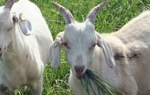 Πωλούσε ανύπαρκτες κατσίκες μέσω διαδικτύου