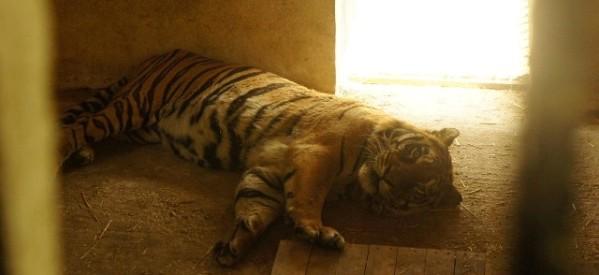 Διεθνής καμπάνια σωτηρίας του Φοίβου, της τίγρης του ζωολογικού κήπου Τρικάλων