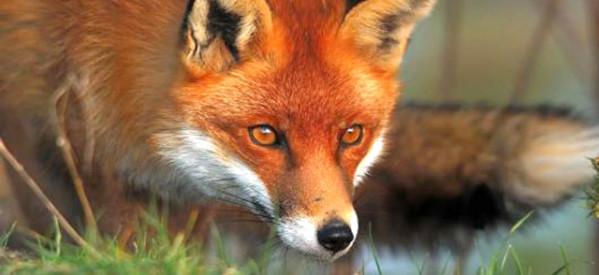 Εμβολιασμός κόκκινων αλεπούδων για την καταπολέμηση της λύσσας