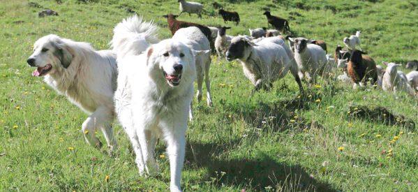 Τσοπανόσκυλα στην Καρδίτσα τραυμάτισαν τρία κοριτσάκια
