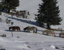 Η ΕΜΑΚ απεγκλώβισε άλογα από το χιόνι στα βουνά της Πίνδου