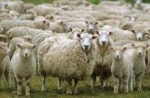Κτηνοτρόφοι:Πουλήσαμε από 3,8 ευρώ το κιλό και οι καταναλωτές αγόρασαν μέχρι 12 ευρώ το κιλό