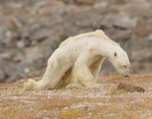 Ο αργός θάνατος μιας πολικής αρκούδας στον καιρό της κλιματικής αλλαγής [ΒΙΝΤΕΟ]
