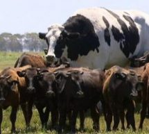 Αγελάδα «μαμούθ»  – Έχει ύψος σχεδόν… δύο μέτρα