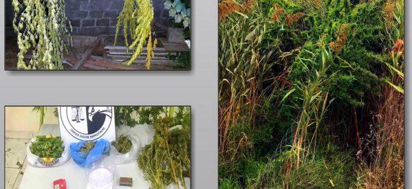 Τρίκαλα : Εντοπίστηκε  φυτεία χασίς – δύο συλλήψεις