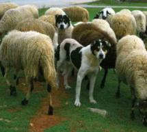 Κομματόσκυλα και πρόβατα στα Τρίκαλα
