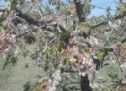 Στον Τρικαλινό κάμπο ο  παγετός αποτελειώνει κεράσια, ροδάκινα, βερίκοκα, ακτινίδια, κηπευτικά, αμπέλια