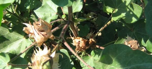 Συμβουλές για το πράσινο σκουλήκι στο βαμβάκι