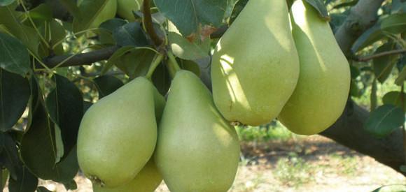 Προχωρά ως μείζων στρατηγική, η καλλιέργεια αχλαδιών στον Ν. Τρικάλων
