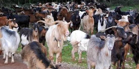 Προέγκριση αιτήσεων για πρόγραμμα αυτόχθονων φυλών αγροτικών ζώων