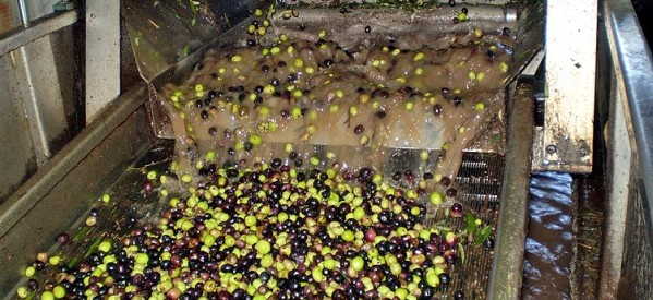 Μειώθηκε η παραγωγή ελαιολάδου στην περιοχή Καλαμπάκας