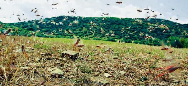 Ακρίδες απειλούν καλλιέργειες σε Παλαιόπυργο και Χρυσαυγή