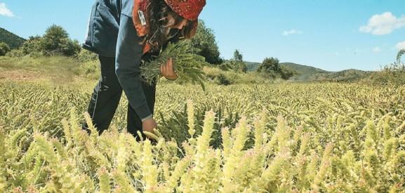 Χρυσές επιδοτήσεις για αρωματικά φυτά
