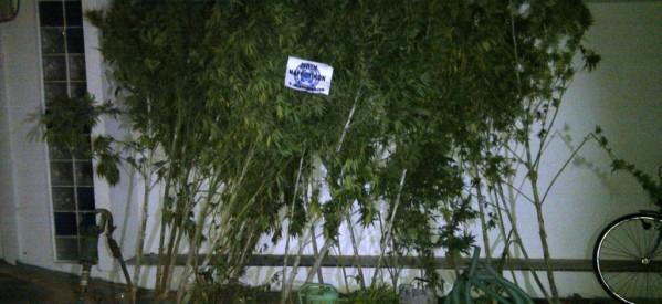 Εντοπίστηκε φυτεία με 53 δενδρύλλια κάνναβης