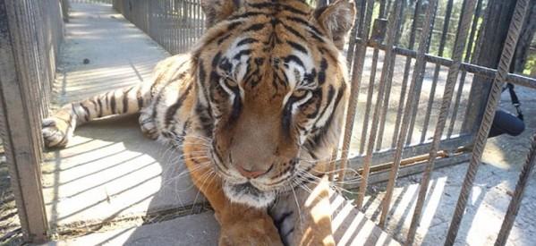 Σώζεται η τίγρης του ζωολογικού κήπου Τρικάλων!