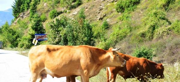 Έσφαξαν αγελάδα και έφυγαν με το κρέας!