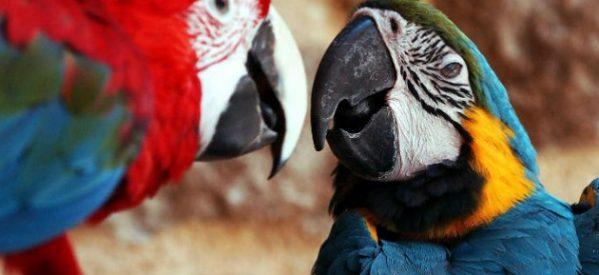 «Λαδωμένοι παπαγάλοι»