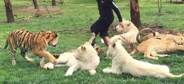Βίντεο: Η συγκλονιστική στιγμή που τίγρης σώζει εργαζόμενο ζωολογικού κήπου από λεοπάρδαλη