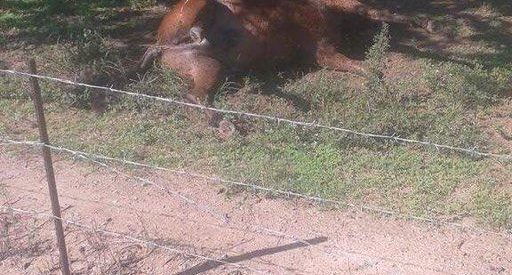 Κτηνωδία στην περιοχή Τυρνάβου : Σκότωσαν δύο άγρια άλογα