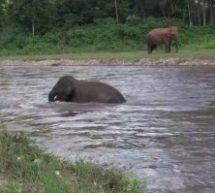 Καταπληκτικό: Ελέφαντας μπήκε στο ποτάμι να σώσει τον εκπαιδευτη του που πνιγόταν