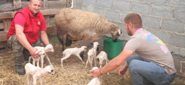 Προβατίνα γέννησε επτάδυμα