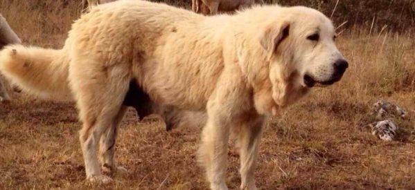 Κακοπλεύρι Καλαμπάκας – Δηλητηριάστηκαν έξι ποιμενικά σκυλιά – 3.000 ευρώ δίνει ο ιδιοκτήτης σε όποιον δώσει πληροφορίες