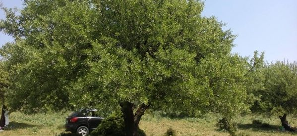 Τρίκαλα – Ρεζερβέ δένδρο …