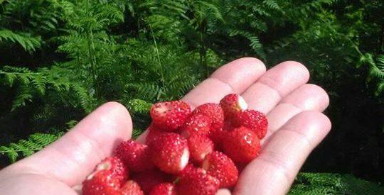 Για αγριοφράουλες στον Κόζιακα