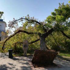 Για το μακελειό των δέντρων στην κεντρική πλατεία