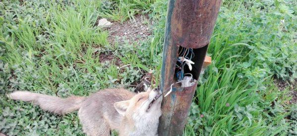 Ο… θάνατος αλεπούς από γυμνά καλώδια κολόνας του δήμου