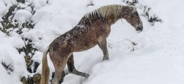 Άγρια άλογα στα χιονισμένα βουνά της Σαμαρίνας