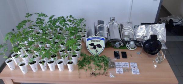 Tρίκαλα – οργανωμένη φυτεία κάνναβης Σύλληψη 25χρονου