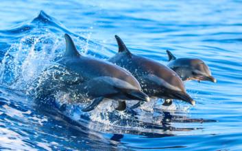 Πρωτοφανής αύξηση δελφινιών στο Θαλάσσιο Πάρκο Αλοννήσου