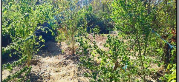 Εντοπίστηκε φυτεία δενδρυλλίων κάνναβης στην ευρύτερη περιοχή των Τρικάλων