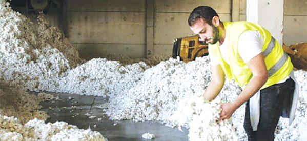 «Κοψοχρονιά» πουλάνε τα υποβαθμισμένα βαμβάκια οι αγρότες της Καρδίτσας