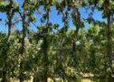 Θρασύτατοι και θρασύδειλοι «άγνωστοι»  ψέκασαν με ζιζανιοκτόνο και κατέστρεψαν ένα ολόκληρο περιβόλι με κεράσια