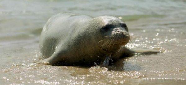 «H νεαρή αρσενική φώκια «Κωστής», μασκώτ της Αλοννήσου , είναι νεκρή από ανθρώπινο χέρι»